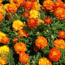French Marigold SPARKY MIX Red Orange Yellow Dwarf Beneficial