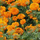 African Marigold TALL ORANGE Beneficial for Gardens