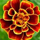 QUEEN SOPHIA French Marigold Heirloom Pollinators AAS WINNER