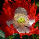 """Poppy DANISH FLAG Papaver Red White Feathery 5"""" Unique Flowers"""
