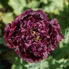 Poppy DOUBLE BLACK Double Peteled Peony Poppy Flower