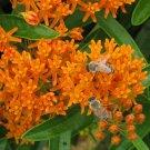 MONARCH BUTTERFLY Wildflower MIX Perennial/Annual 27 Flower Species