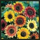 Sunflower AUTUMN BEAUTY MIX Branching Multiple Flowers