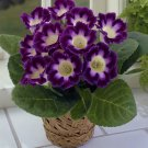 SALE!! 200 Pcs Sinningia Gloxinia Home Garden Pot