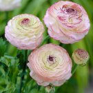 NEW !! 100 pcs Ranunculus Flower Plants Flower De Flores Jardinagem