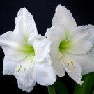 "NEW !! True 2 Pcs Amaryllis Bulbs Hippeastrum Flowers ""White"" Color"