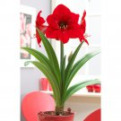 """NEW !! True 2 Bulbs Amaryllis Hippeastrum Flowers """"Red"""" Color"""
