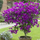 NEW !! 100 Pcs Purple Bougainvillea Glabra Bonsai Spectabilis Willd Plant