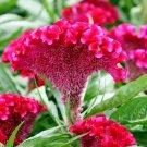 NEW !! 100 Pcs Cockscomb Flower Bonsai Rare Species Bonsai Flower