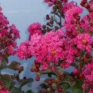 NEW !! 30 Seeds Pink Velour Crape Myrtle, Impressive Ornamental Trees