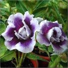NEW !! 2 seeds Rare Adenium Seeds Heirloom Purple White Double Desert Rose