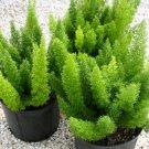 NEW !! 100Pcs Rare Ornamental Bonsai Plants Foxtail Seeds,Foxtail Ferns