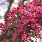 NEW !! 100Pcs Northwest China Red Apple Flower, dense big tree fragrant apple flower