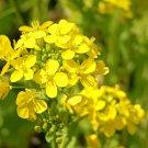 SALE !! 150 seeds Canola Flower Seeds Rapeseed Edible Rape Flower Seeds