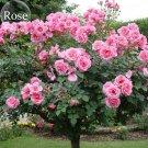 SALE !! 50 seeds Big Pink Double-petalled Rose Tree