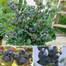 SALE !! 15 seeds/pack, 5 Professional packs Bonsai Blueberry Heirloom Blue Berry Fresh seeds