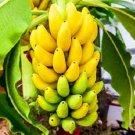 SALE !! 100pcs Rare Dwarf Banana Tree Seeds Mini Bonsai
