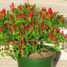 SALE !! 50pcs Thai Sun Hot Pepper Capsicum Annuum Ornamental Chili Seeds Bonsai