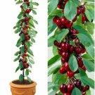 SALE !! 10pcs Mini Dwarf Bonsai big Cherry Seed Tree organic
