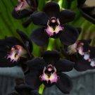 SALE !! 100pcs Rare Black Cymbidium Faberi Orchid Flower Seeds