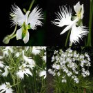 SALE !! 100 White Egret Orchid Seeds Rare Beautifully For Home Garden Flower