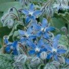 SALE !! 200 Seeds Borage Seeds Borago Officinalis Boraginaceae Herb Organic Plant