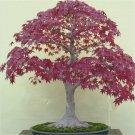 SALE !! 30 Seeds Red Maple Acer Palmatum Atropurpureum Ornamental Bonsai