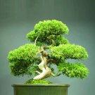 SALE !! 20 Fresh Seeds Beautiful Chinese Juniper Bonsai Tree - Juniperus chinensi