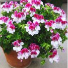 SALE !! 10 seeds Two-color Red White Univalve Geranium Flower