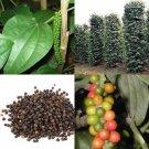 SALE !! 50 seeds Piper nigrum Seeds Black pepper herb Plant