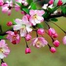 SALE !! 100 Seeds Rare Begonia Flower Garden Chaenomeles Speciosa Plant Bonsai