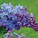 SALE !! 25 Blue Purple Lilac Seeds Tree Fragrant Hardy Flower Perennial Shrub Garden