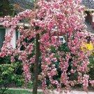 SALE !!5 Cheals Wheeping Cherry Tree Seeds Flowering Japanse Ornimental Garden Seed