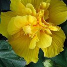 20 of Rare Double Yellow Hibiscus Seeds Giant Dinner Plate Flower Garden