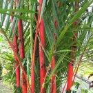 50 of Costa Rico Red Moso Bamboo Seeds Privacy Climbing Garden Clumping Shade