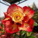 USA SELLER 4 of Rare Red Orange Desert Rose Seeds Adenium Obesum Flower Perennial Exotic
