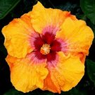 USA SELLER 20 of Yellow Red Hibiscus Seeds Perennial Seed Hardy Flower Garden Exotic Plant