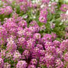 USA SELLER 100 of Pink Alyssum Seeds Carpet Flower Sweet Royal Boarder Plant Garden Seed