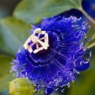 USA SELLER 10 of Rare Blue Passion Flower Seeds Passiflora Tropical Climbing Exotic Garden
