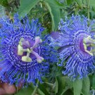 USA SELLER 10 of Rare Bright Blue Passion Flower Seeds Passiflora Tropical Climbing Exotic Garden