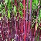 USA SELLER 50 of Siergras Collectie Bamboo Seeds Privacy Plant Garden Clumping Shade Screen