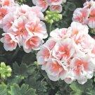 USA SELLER 25 of Pink Geranium Seeds Hanging Basket Perennial Mosquito Repellent Flower