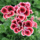 USA SELLER 25 of Red White Geranium Seeds Hanging Basket Perennial Mosquito Repellent Flower