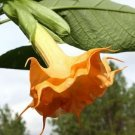 USA SELLER 10 of Orange Angel Trumpet Seeds Brugmansia Datura Flower Fragrant Small Shrub