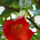 USA SELLER 10 of Red Angel Trumpet Seeds Brugmansia Datura Flower Fragrant Small Shrub