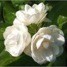 USA SELLER 5 of Arabian Jasmine Seeds Rare Tropical Fragrant Flower While Perennial Bloom
