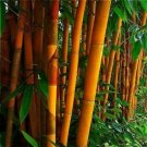 USA SELLER 50 of Rare Orange Bamboo Seeds Privacy Plant Garden Clumping Exotic Shade Screen