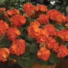 USA SELLER 25 of Dark Orange Geranium Seeds Hanging Basket Perennial Flower Seed Annual
