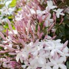 USA SELLER 5 of Queen Night Jasmine Seeds Rare Tropical Fragrant Flower While Perennial Bloom