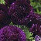 USA SELLER 25 of Dark Purple Persian Buttercup Seeds Ranunculus Asiaticus Peony Seed Flower